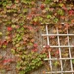 Boston ivy plants are attractive, climbing vines that cover outer walls of many older buildings, particularly in Boston. Get information and tips on caring for this plant in the article that follows.