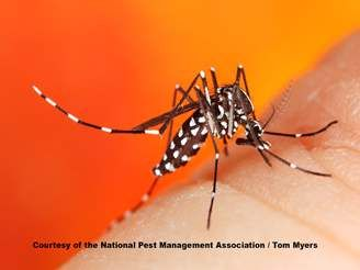 Asian Tiger Mosquito _MG_8957.jpg