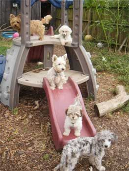 Designer puppies for sale yorkipoo puppies yorkypoo smalll dogs non shedding AKC Lhaso Apso puppies for sale Yorki Apso Shih Apso Shih Tzu Lhasa Apso mix breed