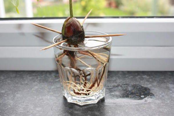 Graine avocat avec racine dans un verre d'eau au bord de la fenêtre
