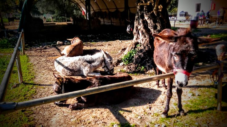 Chillin' donks at Corfu Donkey Rescue