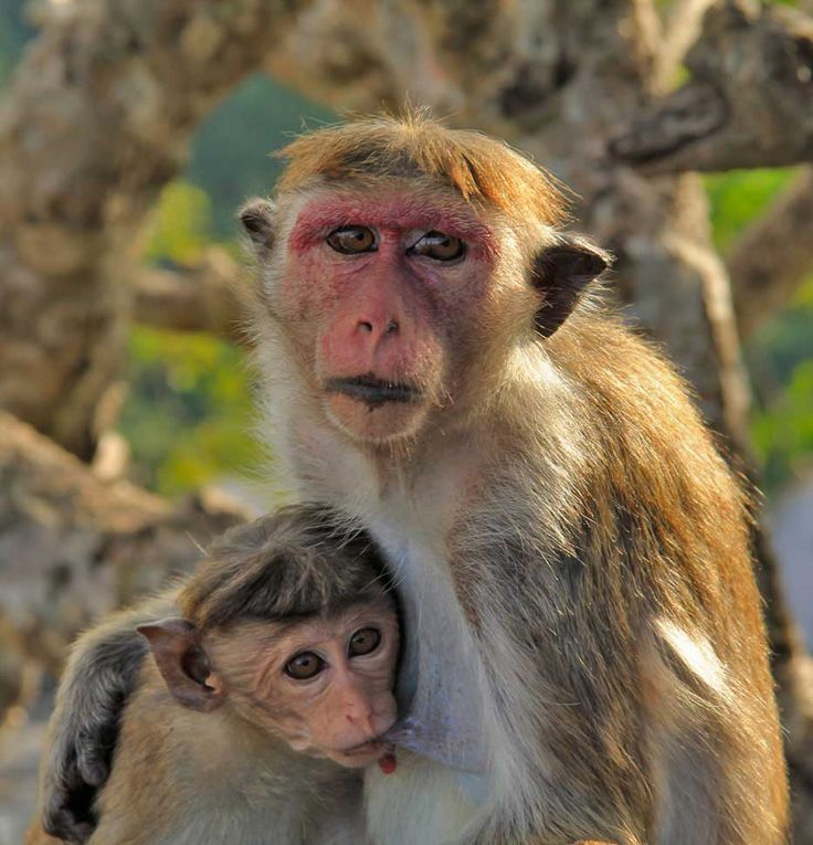 Monkeys at Dambulla Cave Temples