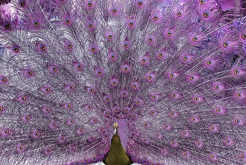 purplepeacock: Pavo Real, Real Life, Natural Beautiful, Purple Passion, Purple Peacocks, Color Purple, Pretty Peacocks, Animal, Color Peacocks