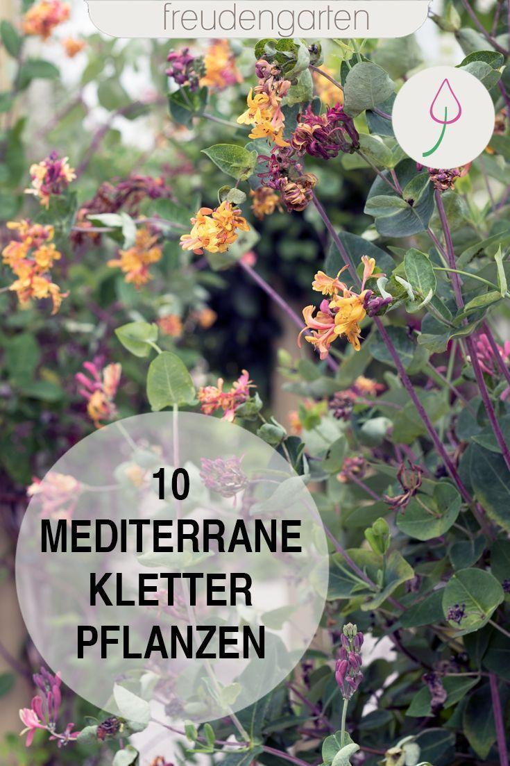 Mediterrane Kletterpflanzen Kletterpflanzenwinterhart Idee Zur