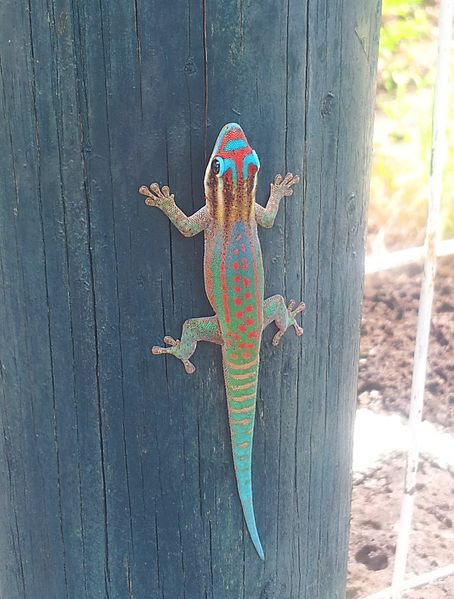 "cool-critters: "" Mauritius ornate day gecko (Phelsuma ornata) Mauritius ornate day gecko is a diurnal species of geckos. It occurs on the island Mauritius and some surrounding islands and typically..."