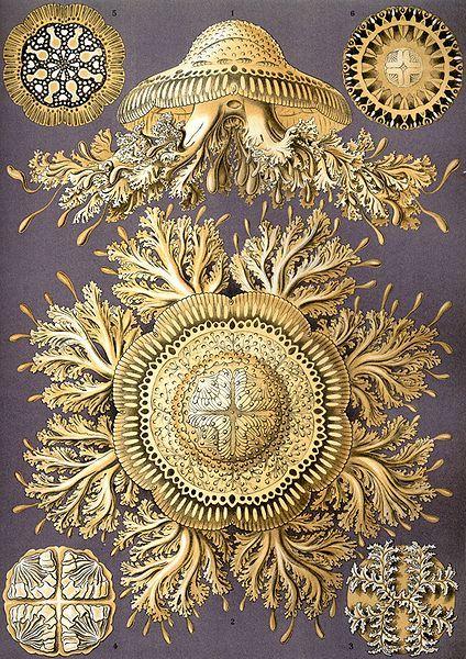 Plates from Ernst Haeckel's Kunstformen der Natur (Artforms of nature) (1904) @ Wikimedia Commons