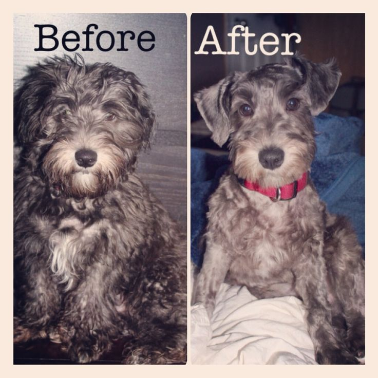 Schnoodle Haircuts | Dog Breeds Picture