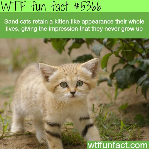 : Sand cats look like kittens their whole life  - WTF fun facts | March 11 2016 at 11:05AM | http://www.letstfact.com