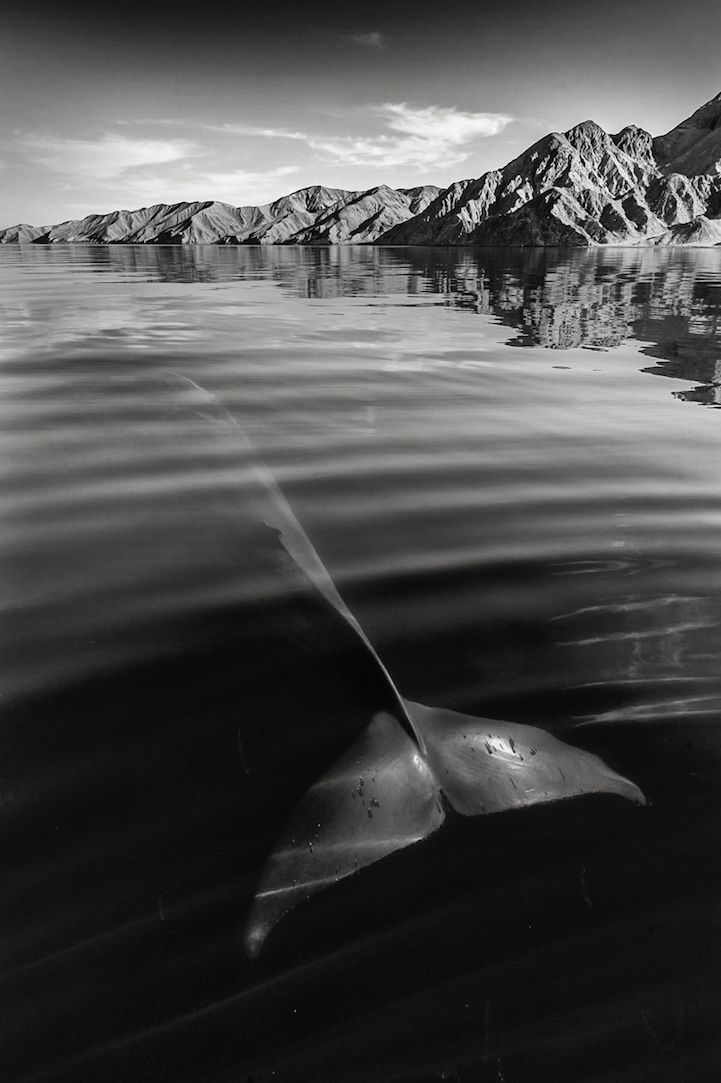 British photographer Christopher Swann captures stunning shots of cetaceans like whales and dolphins both above and beneath the surface of the ocean. With over 25 years of experience diving and running whale- and dolphin-watching holidays around the world, the photographer has become finely attuned to the behaviors of these majestic creatures, enabling him to venture close to them for intimate and eye-opening portraits. Swann's fascinating images are almost minimalist in appearance…
