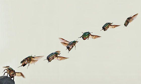 From Wikiwand: De gouden tor (Cetonia aurata) vliegt weg, deze kever kan vliegen met gesloten dekschilden.