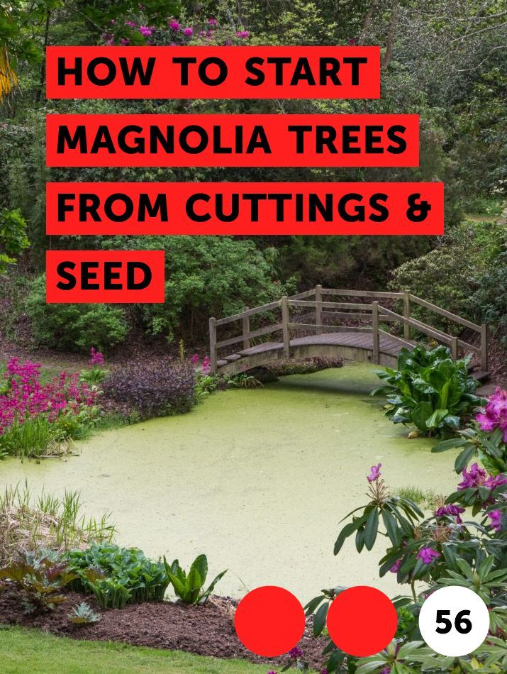 How To Start Magnolia Trees From Cuttings Seed Crepe Myrtle