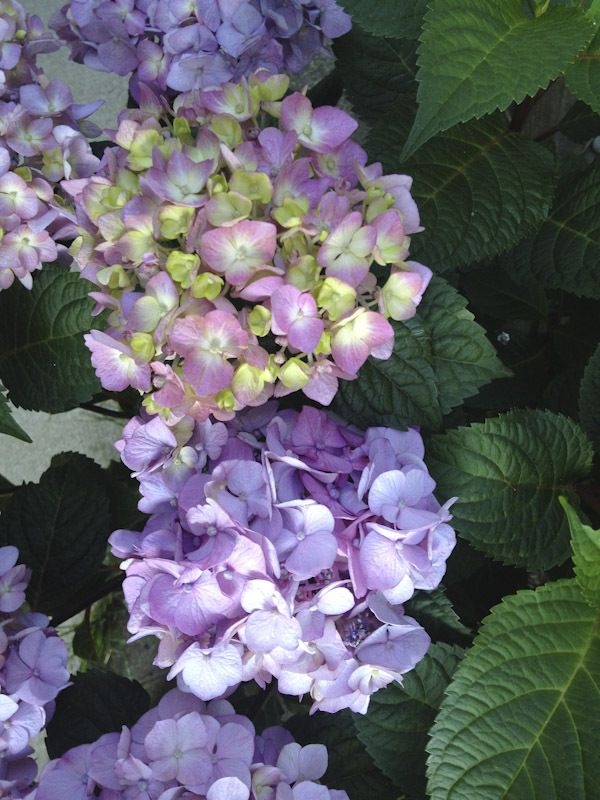 """BloomStruck"" hydrangea from the Endless Summer series (Hydrangea macrophylla), which I have purchased in the summer of 2016. This kind blooms in a variety of colours. it is doing well from the East side of my house."