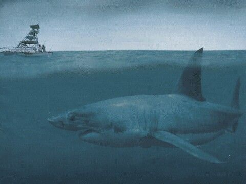 Look at this video!!! http://youtu.be/6aRSrVS4Wiw Monster Megalodon is the largest shark ever to have lived, weighing 50 tonnes and measuring 18 feet long.The megalodon really did become extinct 2.6 millions years ago and recently it was claimed the shark  still exist!