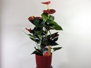 Anthurium rojo en cerámica de Floristeria Los Angeles en Sevilla, asociada a nuestra plataforma web www.apanymantel-flores.com y con entrega a domicilio en Sevilla.