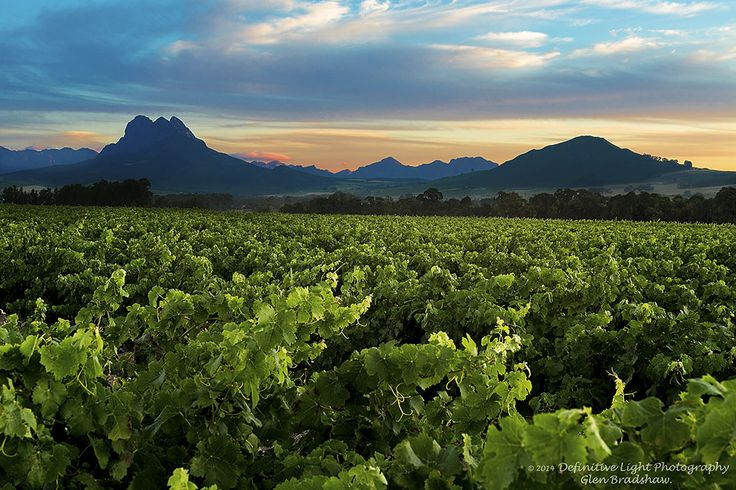 Northern suburbs - The vineyards at sunset