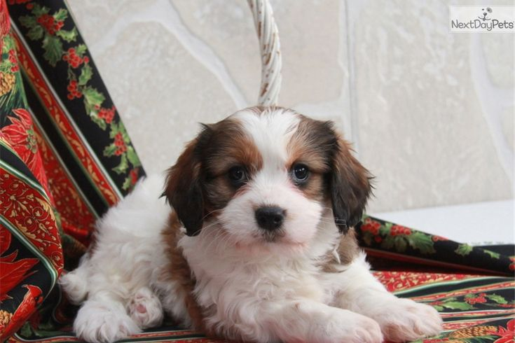 You'll love this Female Cavachon puppy looking for a new home.   – puppies for Christmas