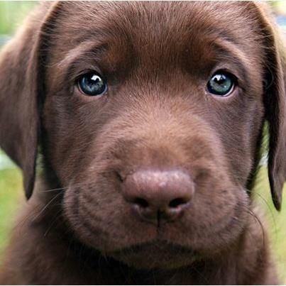 Choc Lab Puppy, look at those eyes omg!