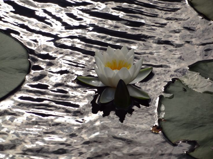 Perfect white water lily in Norway.