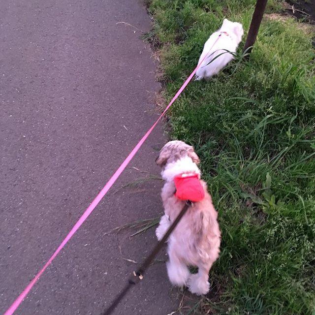 最近トロは💩袋を自分のリュックに 入れて背負ってお散歩に行くよ🐕 #リュック犬 ・ ・ ✂︎………✂︎………✂︎………✂︎………✂︎………✂︎ 🐾トロツナブログ🐾 URL☞http://torotuna.net/ インスタのProfileからもとべます🦅! コメントお待ちしてます‼︎‼︎ ・ ・ #トロ #トロ助 #シーズー #愛犬 #シーズー大好き部 #🐶 #ツナちゃん #ツナ #ツナピヨ #シーチワ #🐤 #シーズーチワワmix #mix犬 #子犬 #チワワ  新しいワンコを…と考えている方は是非! #里親サイト を見てみてください! URL☞http://www.pet-home.jp/dogs/ web☞#里親 で検索っ🔎!