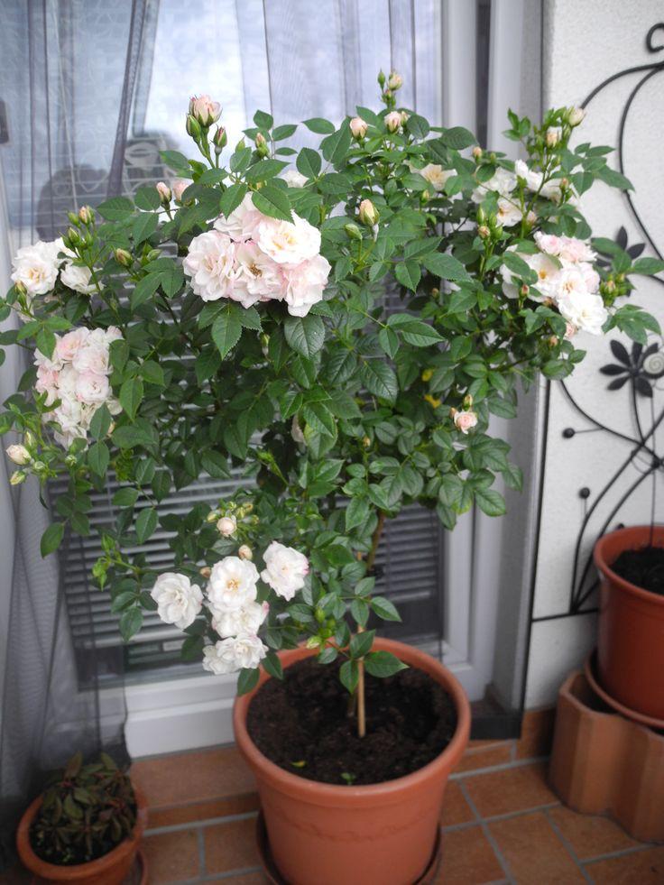 Rosenstämmchen