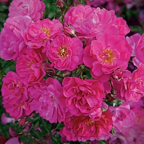 $12.99 Sweet Vigorosa™ Ground Cover Rose - Ground Cover Roses - Roses