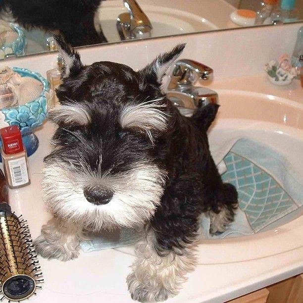 #Schnauzer #puppy <3