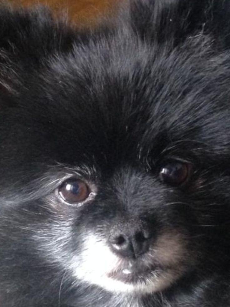 2030 best images about Pom Poms (Pomeranians) on Pinterest ...