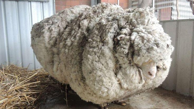 An overgrown sheep dubbed Chris, found wandering near Australia's capital, sets an unofficial world record for the heaviest fleece.