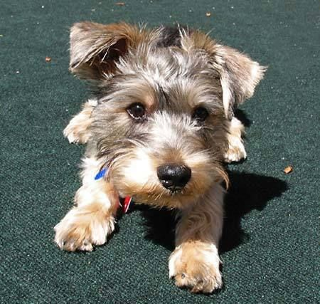 Yorkie/Schnauzer Mix puppy!