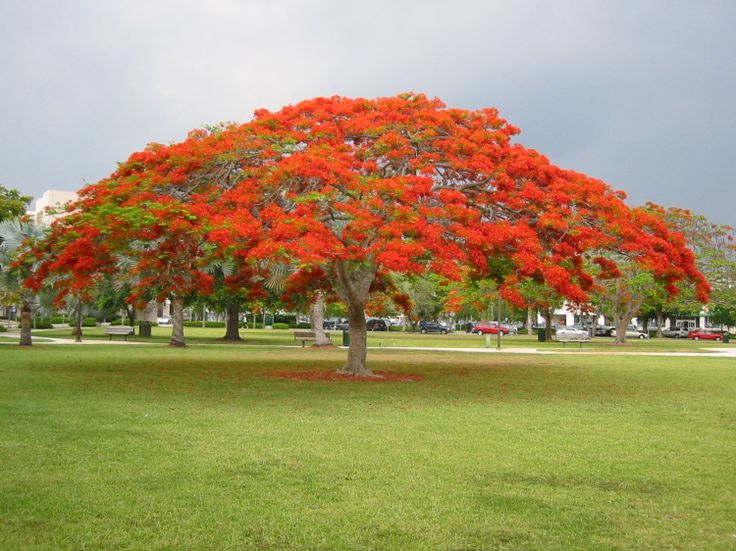 The grand dame of south Florida trees, the Royal Poinciana