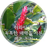 [하와이 꽃] 열대 지역의 향을 갖고 있는 레드 진저 꽃생강을 소개합니다!
