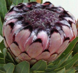 Protea Nerifolia Ruby