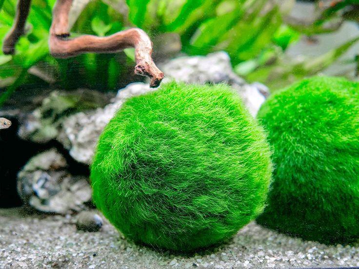Amazon.com : 3 Betta Fish Balls - Live Marimo Aquarium Plants for Fish Tanks - Natural Toy Accessories for Betta Fish by Aquatic Arts : Pet Supplies