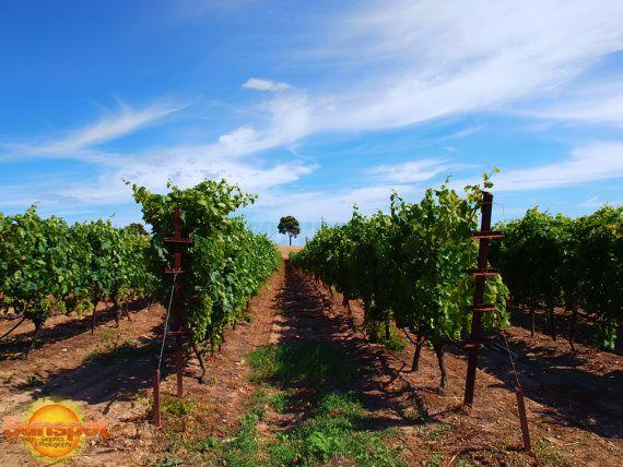 Vineyard,Fine Art Photography,nature,travel,wine,grapes