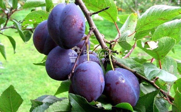 Чем подкормить летом абрикос и сливу летом, весной, осенью. Какие удобрения вносить во время роста плодов, нормы внесения подкормки для сливы и абрикоса