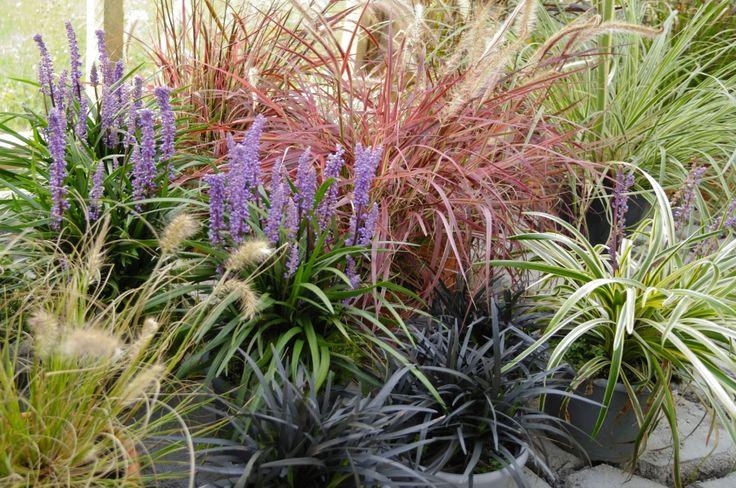 21 best grass images on pinterest ornamental grasses. Black Bedroom Furniture Sets. Home Design Ideas