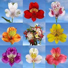 Color Alstroemerias   GlobalRose.com