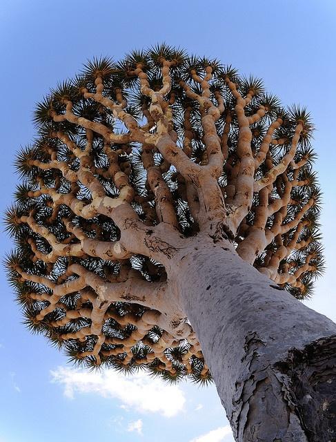 Dragon's Blood tree by Stefan Geens, via Flickr
