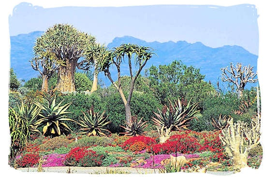 The Karoo Desert National Botanical Garden is a must for succulent lovers. The Garden lies on the outskirts of Worcester, 120km from Cape Town.  This Garden is unique in that it is the only truly succulent garden in the southern hemisphere and on the African continent. One of the floral highlights of the year is spring, when thousands of annuals and brightly coloured vygies come into flower. This colour spectacle lasts from mid-August to the end of September.