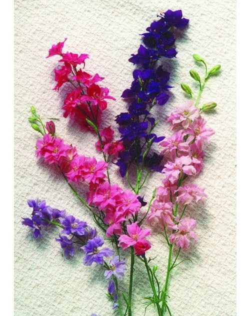 LARKSPUR - July birth flower                                                                                                                                                                                 More