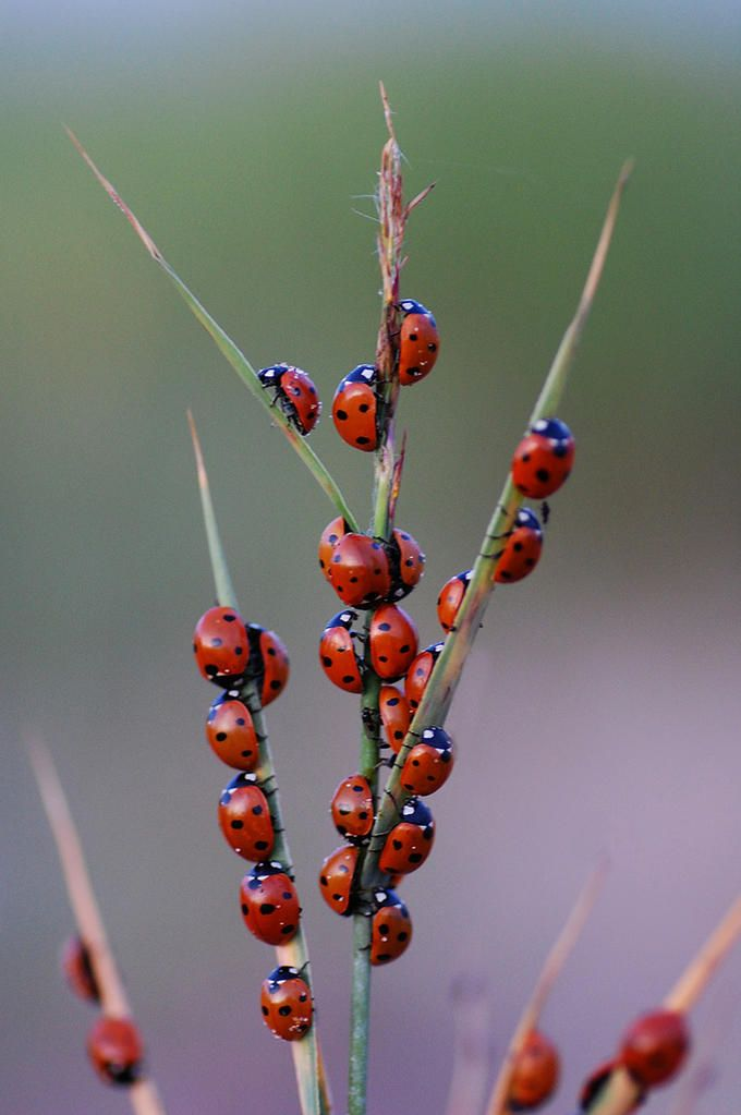 ladybugs @brittneymarthaller JO: What a Very Special scene! I consider Ladybugs to be Lucky so would fall over with Joy if I happened to find sooo many @Jena Kittie!! ;)