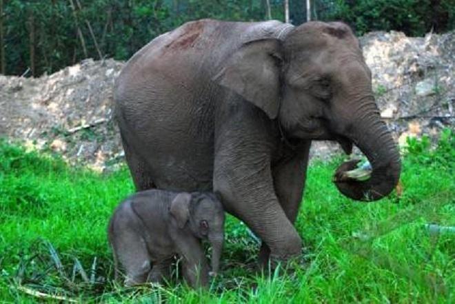 Dua Bayi Gajah Lahir di Konservasi BEC Bali