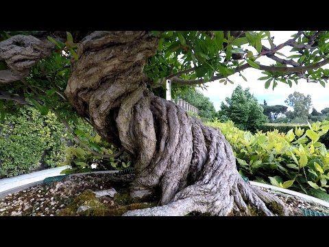 Colección Bonsai - Real jardín botánico - Madrid - YouTube