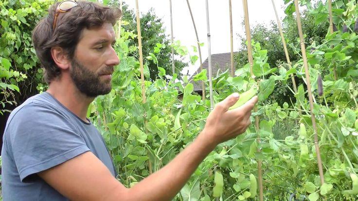 Vegetable plant Breeding - How to cross Peas