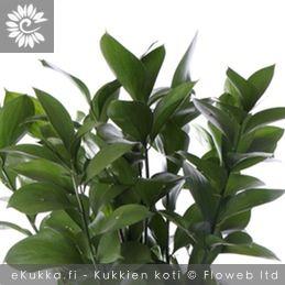 Isoruskus (Israelinruskus), Ruscus hypoglossum