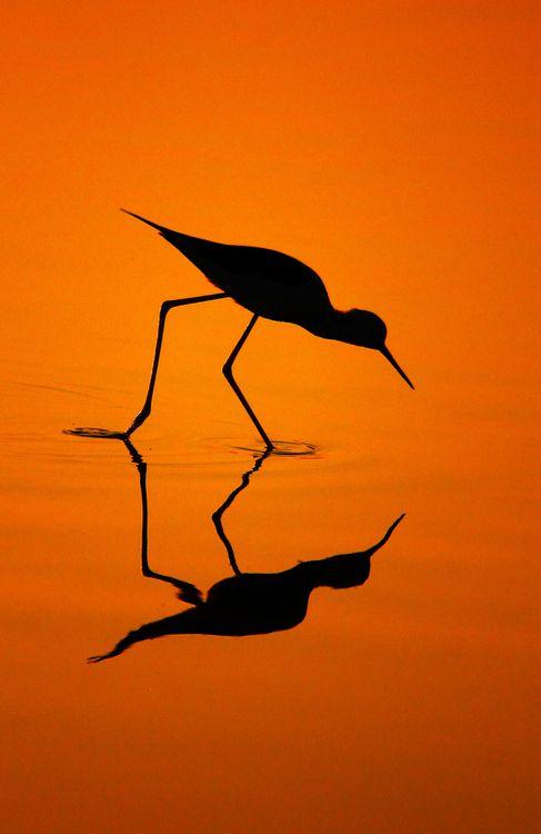 0mnis-e:    Black-Winged Stilt's Silhouette, By Bhanu Kiran Botta.
