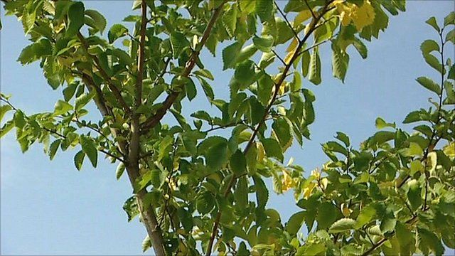 SHOULD WE BE SAVING THE ELM TREES