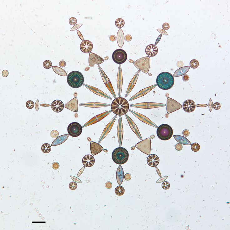 Colección de diatomeas micróscopicas. Son un grupo importante de algas que se encuentran entre los organismos más pequeños de la tierra. Existen 100.000 especies diferentes. Los autores de la fotografía han usado estas pequeñas formas de vida unicelulares como obras de arte para crear espectaculares mandalas. La mayoría de estos organismos tienen la medida de la cabeza de un clavo /Autor: W.M. Grant