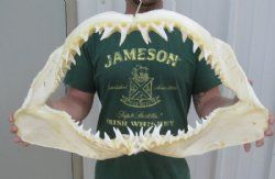 Shark Jaws for Sale - Hand Selected