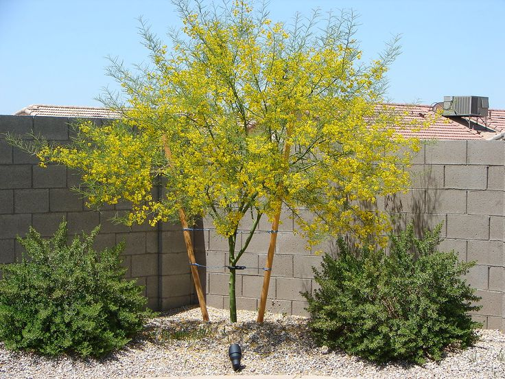 Landscaping With Palo Verde Trees : Green palo verde like color and shape enough shade tree